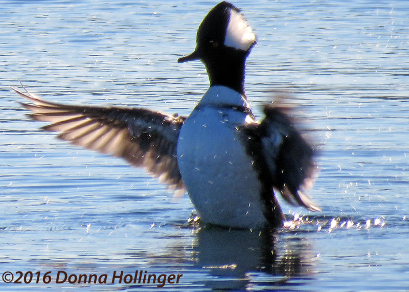 Hooded Merganser Displaying