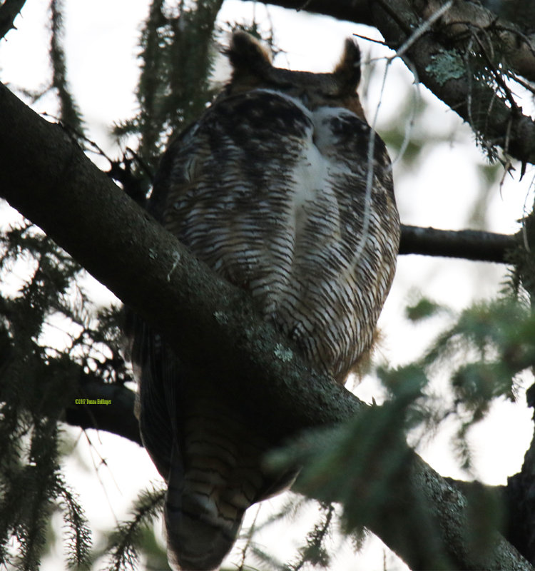 Female Great Horned Owl, Sleeping Today