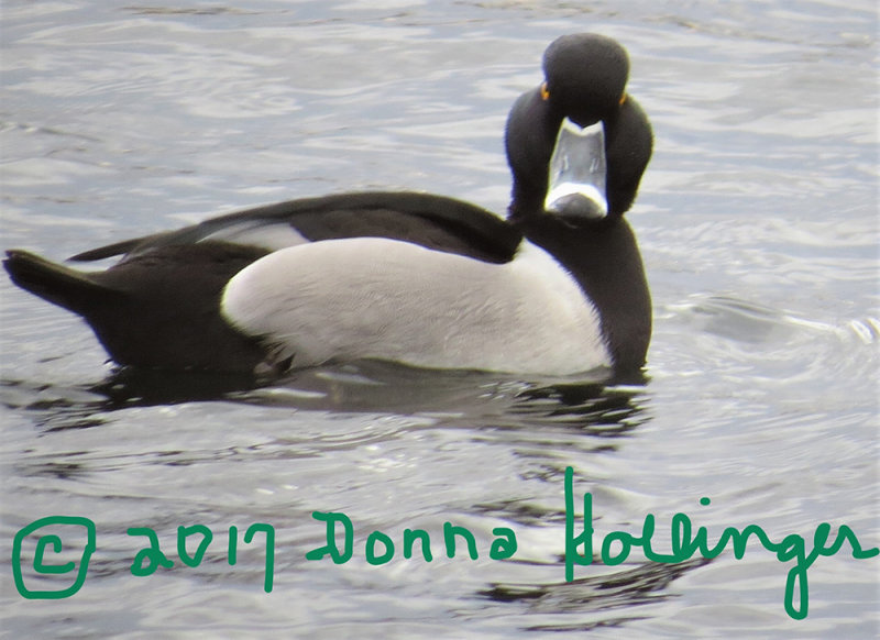 Ring Necked Duck showing back feathers