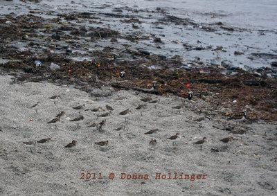 Newport Beach with Ruddy Turnstones and Sanderlings