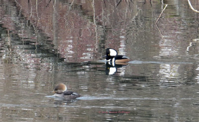 Two Hooded Mergansers at Black's Nook