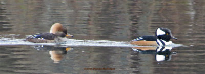 Smiling Hooded Mergansers (Male and Female)