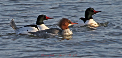 2 Drakes and a Female, Common Mergansers