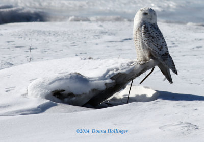 Snowy Owl Right on the Beach