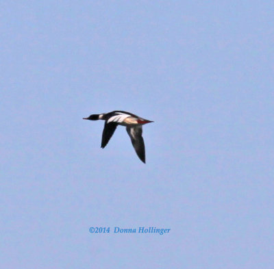 Common Merganser Flying