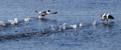 Common Mergansers (drakes) in PreFlight
