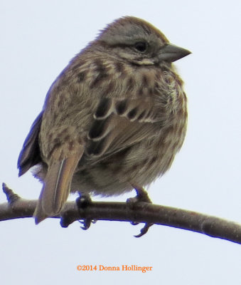 Songsparrow at Freshpond