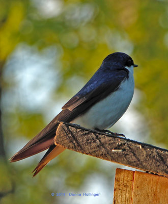 Tree Swallow looking for her date