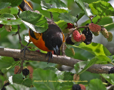 Mulberries and the Oriole