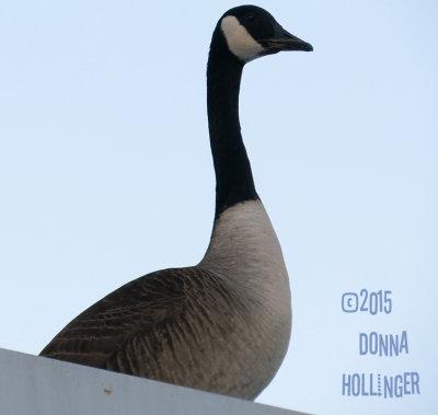 Canada Goose  Mate Dumpster Diving at CVS
