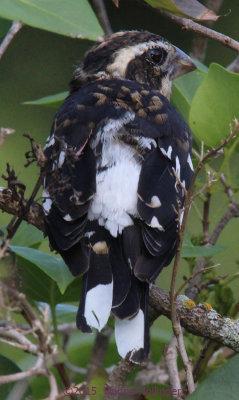 Immature Male Rose Breasted Grosbeak