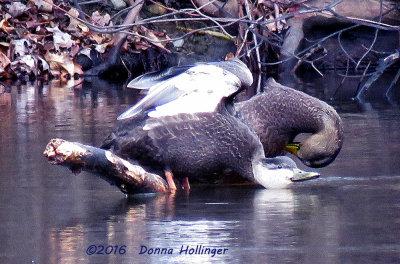 Mexican Duck and  a Female Mallard