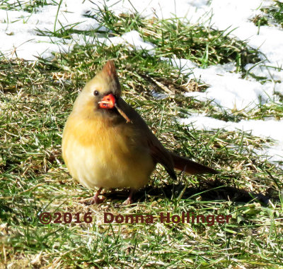 Immature Cardinal Picking up a Seed