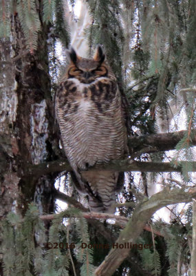 Great Horned Owl (even tho her eyes look closed)
