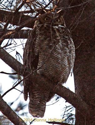 Female Great Horned Owl Met her Male