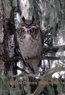 According to Sibley the Female Great Horned Owl is the More Colorfully Marked