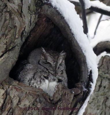 Screech Owl and the Tree!