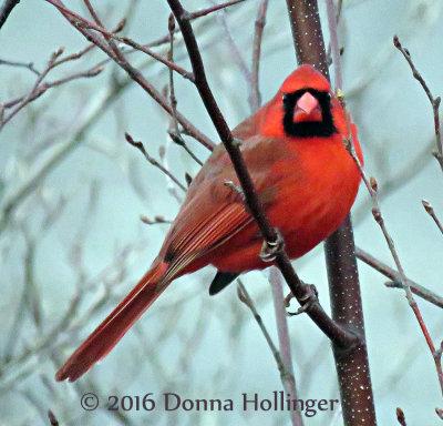 Male Cardinal on a tree near home