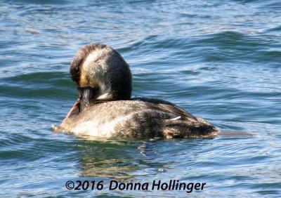 One Ruddy Duck