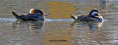 An Immature and Mature Hooded Mergansers