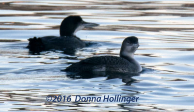 2 Common Loons (same as previous 2)