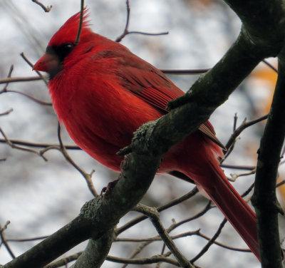 Female's Husband Cardinal