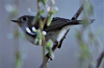 Kinglet in a Weeping Willow