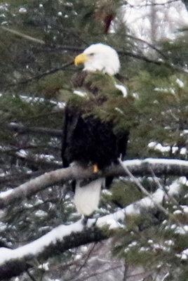 Mature Eagle Accross the Dam...Waiting