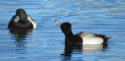 Greater and Lesser Scaup