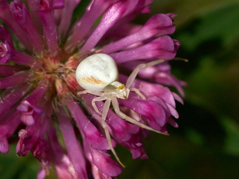 Blomkrabbspindel - Misumena vatia - Flower spider