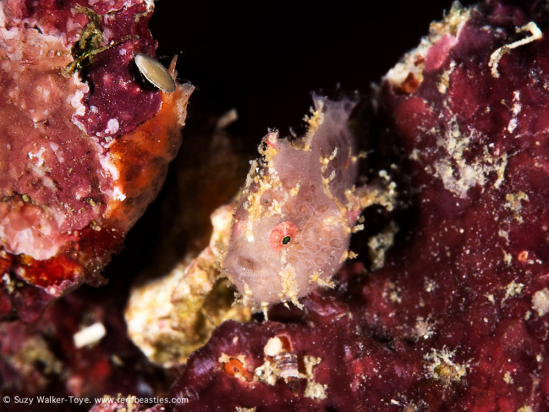 Tiny Frogfish