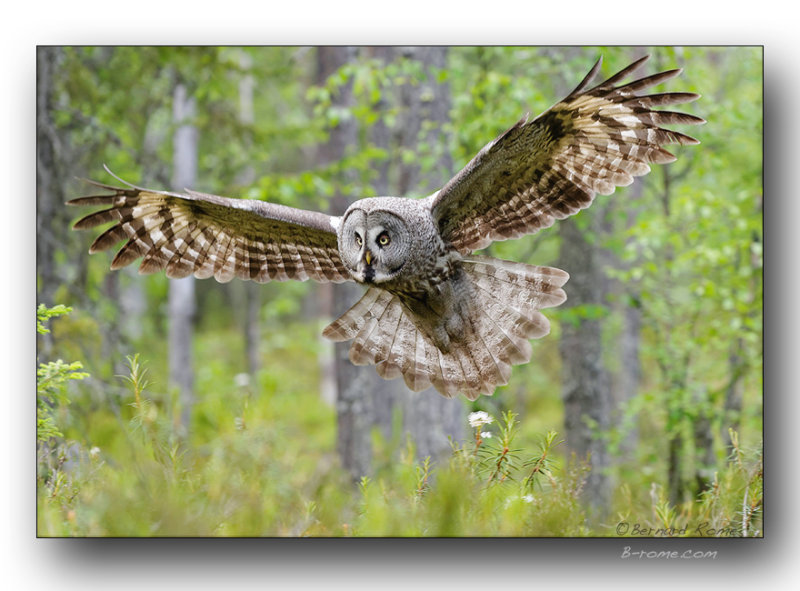 Chouette lapone à latterrissage. Great gray owl landing