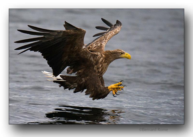 Aigle pygargue-Sea eagle