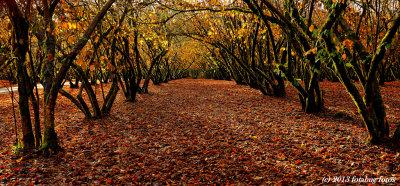 Filbert (Hazelnut) Orchard, Dorris Ranch