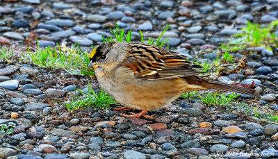 Golden Crowned Sparrow