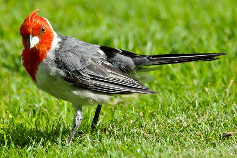 Red-Crested Cardinal - May I have this dance? (08/12/2015)