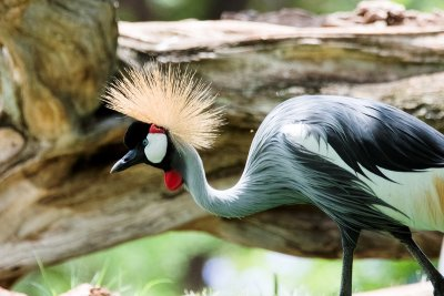 Honolulu Zoo - African Crowned Crane (taken on 07/20/2016)
