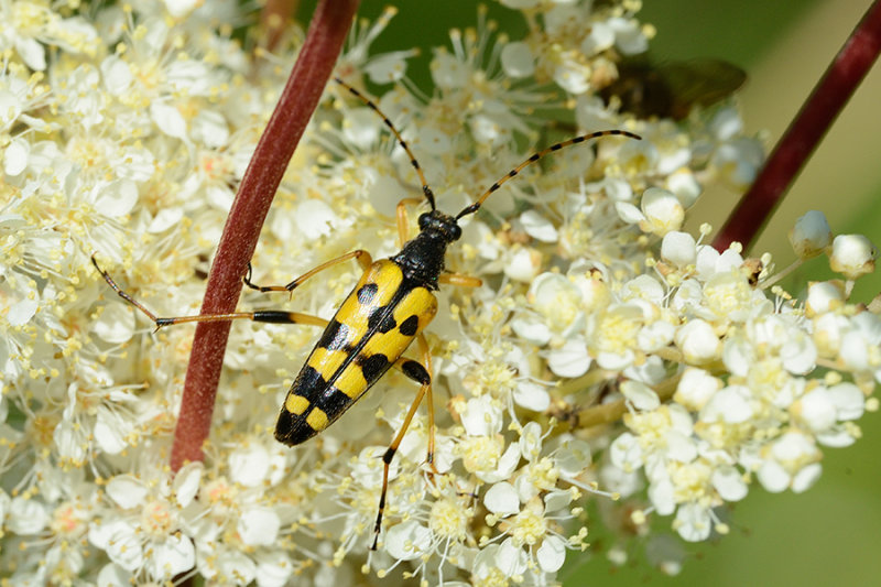 Spotted Longhorn, Rutpela maculata, Sydlig blomsterbuk 1