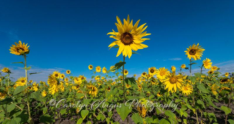 Sunflower_Faces.jpg