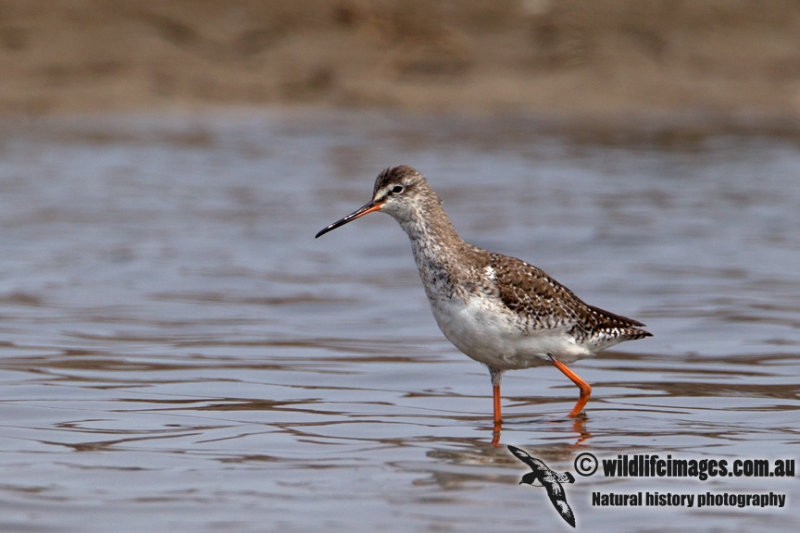 Spotted Redshank a0701.jpg