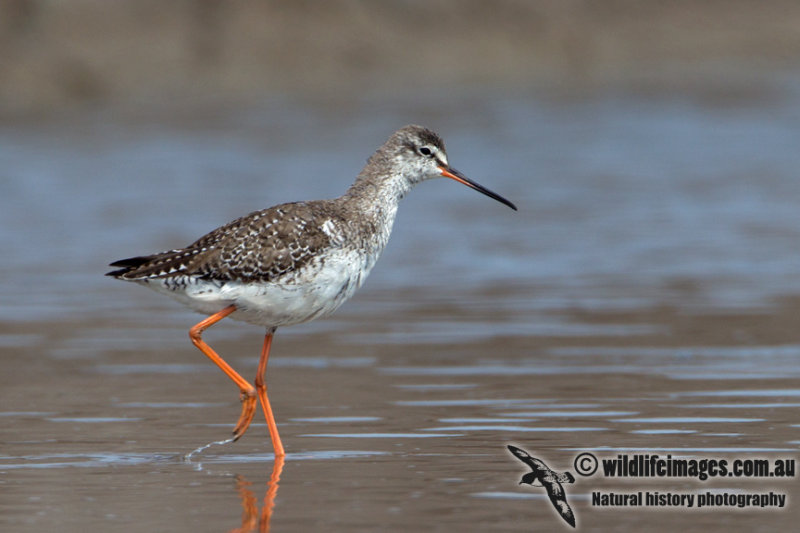 Spotted Redshank a0715.jpg