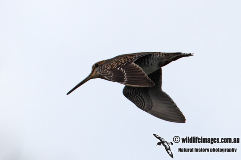 Pin-tailed Snipe 2272.jpg