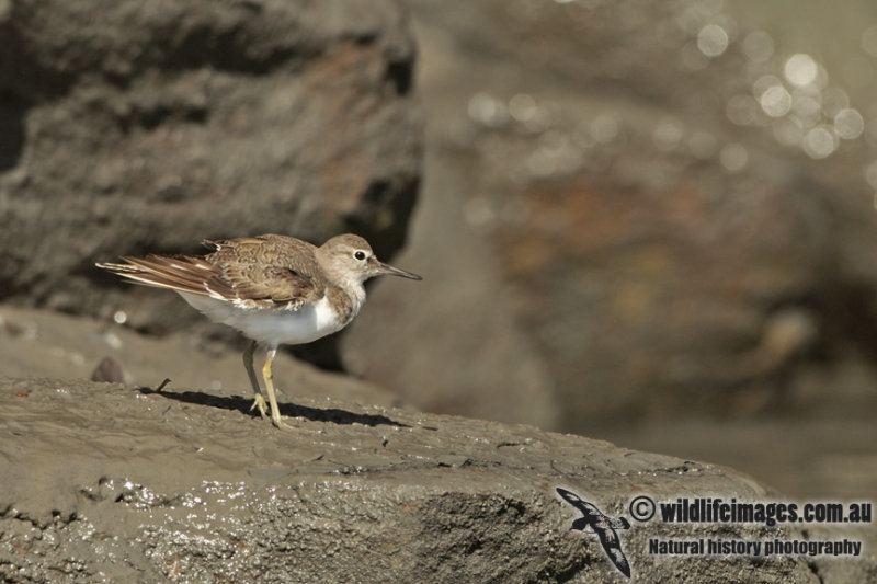Common Sandpiper a6151.jpg
