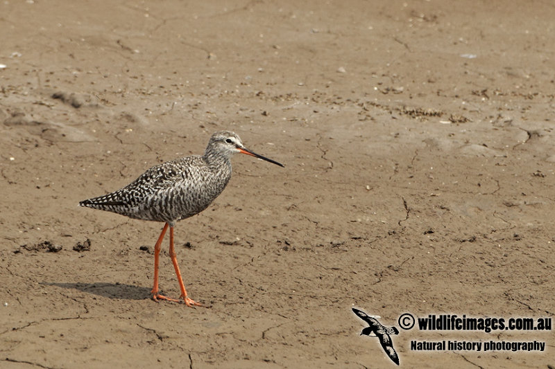 Spotted Redshank a0256.jpg