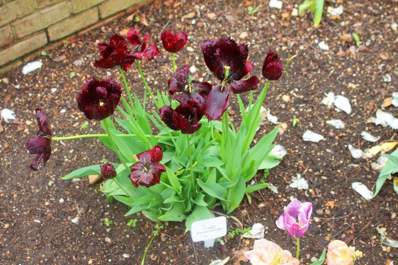 Van gogh tulips