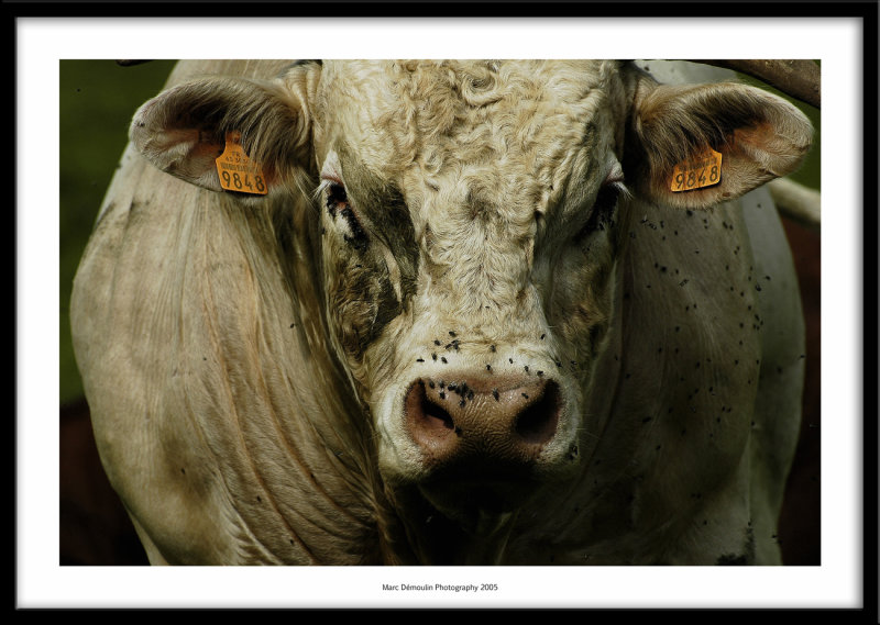 Bull, Cantal, France 2005