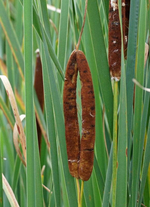 great meadows-weird  cattail