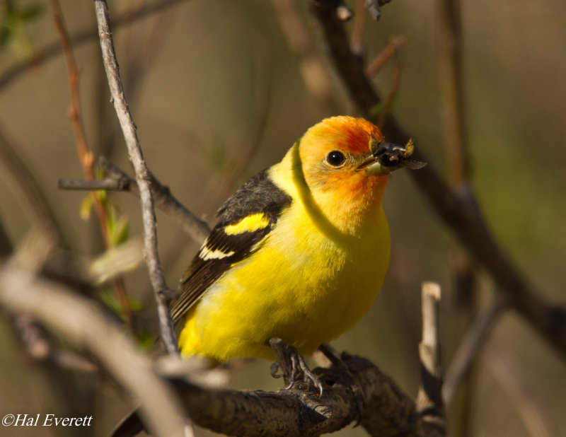Western Tanager and Snack