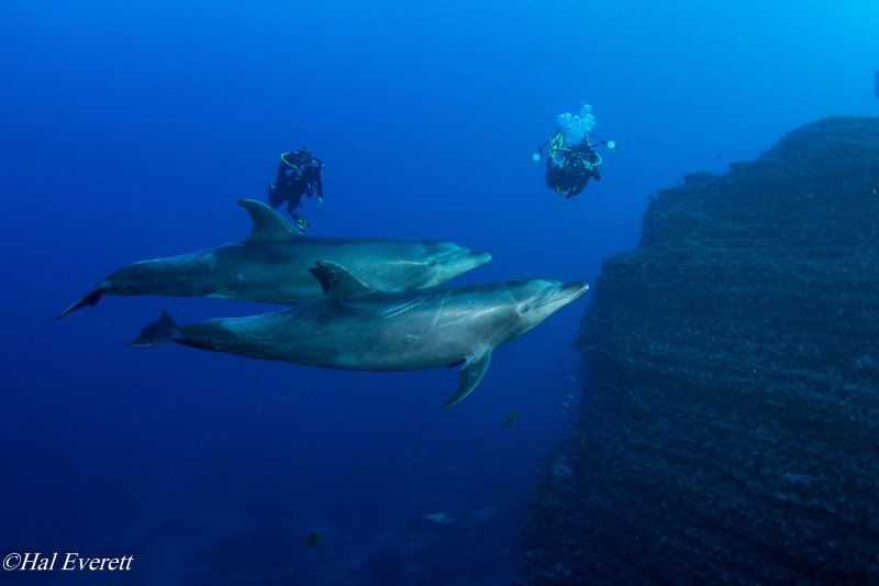 Pacific Bottlenose Dolphins and Divers