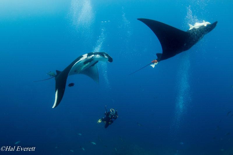 Mantas and Diver